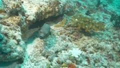 blackspotted puffer fishEllhaidhoo Maldives