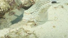 speckled sandperch Ellhaidhoo Maldives