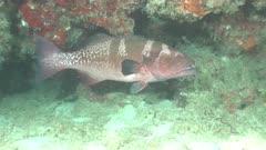 spotted grouper Ellhaidhoo Maldives HLG