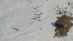 8k snowy Yellowstone wolves on riverbank stalking buffalo / bison