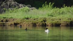 8k Grand Teton National Park Oxbow bend geese and waterfowl