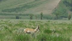 8k Grand Teton National Park Grand Teton range antelope