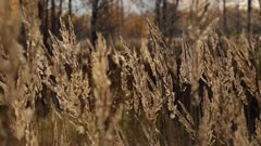 Tall Grass Swaying in theWind