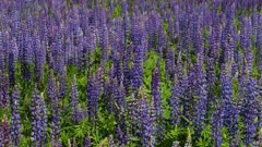 Blue Lupin Flowers in the Meadow Swaying in the Wind
