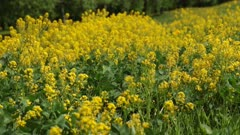 yellow wildflowers in the meadow swaying in the wind