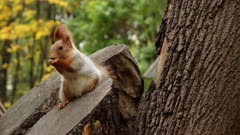 squirrel on a tree stump eats nuts and seeds