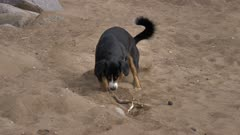 Dog plays with stick on the sand beach
