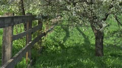 Booming cherry orchard behind a wooden fence in a local garden