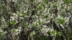 Branches of a blossoming cherry trees in white flowers.