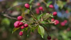 Branch of Blooming Pink Apple Tree Close Up View
