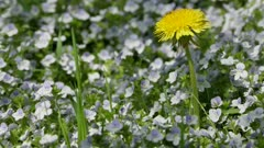yellow dandelion among blue flowers on a sunny glade