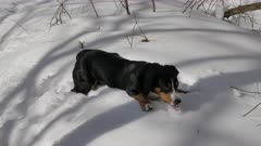 Dog Plays on Fresh Snow in the Winter Forest