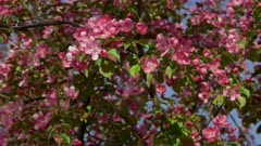 Pink Apple Trees Blossom in Spring Orchard