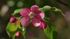 Branch of Blooming Pink Apple Tree with Flowers in Spring Orchard