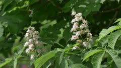 Branch chestnut closeup. White chestnut flowers  against the background of lush green leaves.