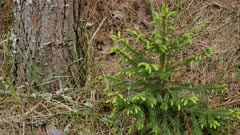 small spruce tree with young needles in the spring forest