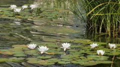 Water Lilies Blooming in a Pond.