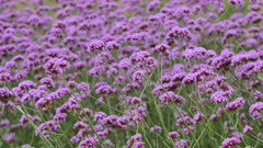 Beautiful Blooming Purple Flowers in the Meadow Swaying in the Wind. Flower Background.
