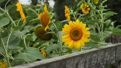 Yellow sunflowers blooming in a garden on a green background
