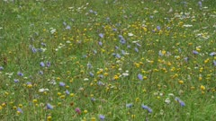 Beautiful blooming wildflowers on the meadow in the summertime.