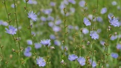 Beautiful blooming chicory flowers in the meadow in summertime.