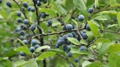 Wild blue plum berries on branches in the summer garden.