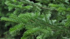 Spruce tree branches sways in the wind. Christmas background.