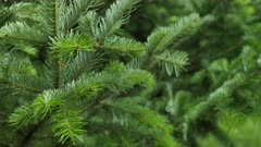 Spruce tree branches sways in the wind.