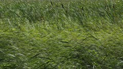Summer Grass and Reeds Swaying with a Strong Wind, Green Background