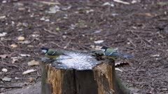 Blue and black-capped chickadees eating seeds on tree trunk in the summer forest.