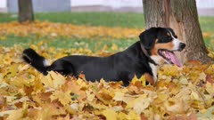 The Entlebucher Sennenhund Dog lying on yellow leaves in the Autumn Forest