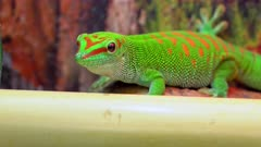 Close up of Giant Day Gecko