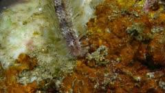 Small Fire Worm (Chloeia parva) 1of2