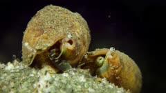 Grazing Vomer Conch, Strombidae vomer