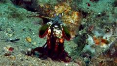 Peacock Mantis Shrimp, Odotodactylus scyllarus 1of2