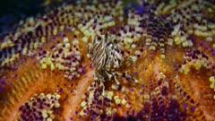 Zebra Crab, Zebrida adamsii 1of2