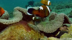 saddleback clownfish with eggs, Amphiprion polymnus 1of3