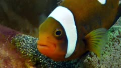 saddleback clownfish with eggs, Amphiprion polymnus 2of3