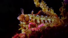 Browncheek Blenny, Acanthemblemaria crockeri #3