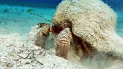 Giant Hermit Crab (Petrochirus diogenes)  2 of 3
