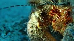Giant Hermit Crab (Petrochirus diogenes)  3 of 3