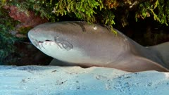 Nurse Shark (Ginglymostoma cirratum)  2 of 2