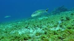 Sand Tilefish (Malacanthus plumieri) 2 of 3