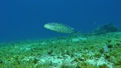 Sand Tilefish (Malacanthus plumieri) 3 of 3