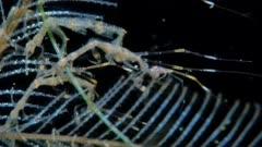 Skeleton Shrimp (Caprellid)