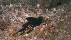 Magnificent Sailfin Shrimp Goby, Flabelligobius sp.