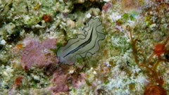 Pleasing Polyclad Flatworm (Pseudobiceros gratus)