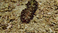 Persian Carpet Flatworm (Pseudobiceros bedfordi) 2 of 4
