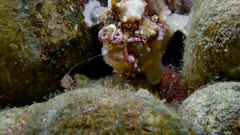 Warty Frogfish with lure (Antennarius maculatus) 1 of 3
