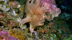 Yawning Giant Frogfish (Antennarius commerson) in the coral 3 of 3